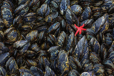 Mussels Photograph - Usa, Washington Mussels And Red Sea by Jaynes Gallery