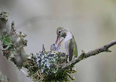 Annas Hummingbirds Wall Art - Photograph - Usa Washington State Adult Female by Gary Luhm