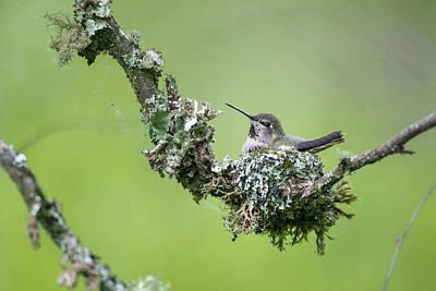 Annas Hummingbirds Wall Art - Photograph - Usa Washington State Anna's Hummingbird by Gary Luhm