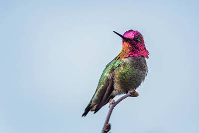 Annas Hummingbirds Wall Art - Photograph - Usa Washington State Male Anna's by Gary Luhm