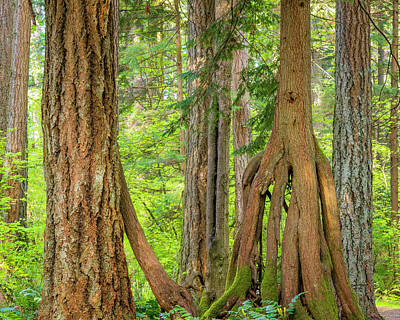 Red Cedar Photograph - Usa, Washington State, Millersylvainia by Jaynes Gallery