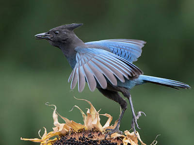 Corvidae Photograph - Usa Washington State Steller's Jay by Gary Luhm