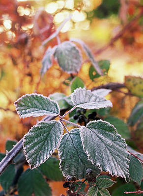 Blackberries Wall Art - Photograph - Usa, Washington State, Stevens Pass by Stuart Westmorland