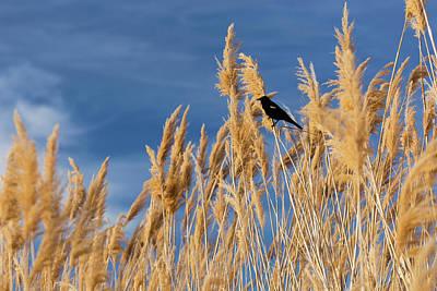 Pampas Grass Photograph - Usa, Washington State, Walla Walla by Brent Bergherm