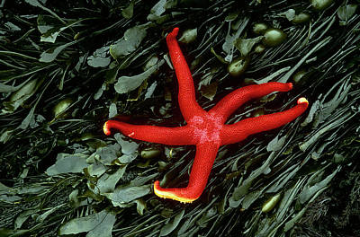 Echinoderm Photograph - Usa, Washington, Tongue Point by Jaynes Gallery