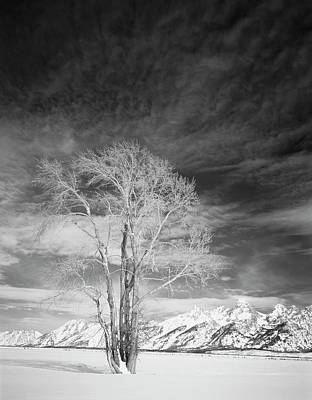 Large Format Photograph - Usa, Wyoming, Cottonwood Tree In Winter by Scott T. Smith