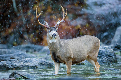 Mule Deer Buck Photograph - Usa, Wyoming, Sublette County, A Mule by Elizabeth Boehm
