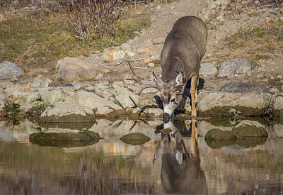 Mule Deer Buck Photograph - Usa, Wyoming, Sublette County, Boulder by Elizabeth Boehm