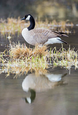 Canada Goose Photograph - Usa, Wyoming, Sublette County, Canada by Elizabeth Boehm