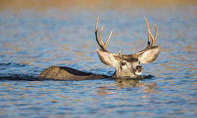Mule Deer Buck Photograph - Usa, Wyoming, Sublette County, Mule by Elizabeth Boehm