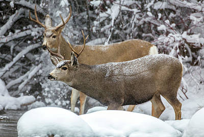 Mule Deer Buck Photograph - Usa, Wyoming, Sublette County, Two Mule by Elizabeth Boehm