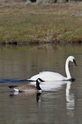 Canada Goose Photograph - Usa, Wyoming, Trumpeter Swan, Canada by Gerry Reynolds