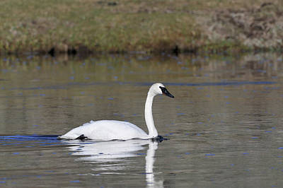 Usa, Wyoming, Trumpeter Swan Art Print by Gerry Reynolds