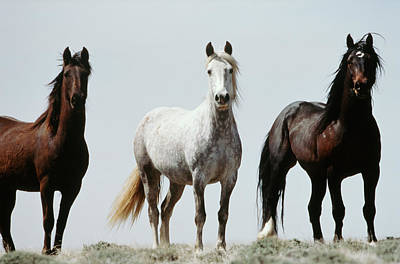 Usa, Wyoming, Young Wild Stallions Art Print by Scott T. Smith