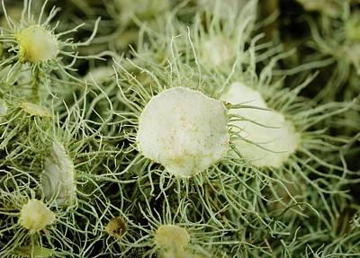 Lichen Photograph - Usnea Florida by Cordelia Molloy