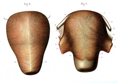 Uterus Muscle Structure Print by Collection Abecasis