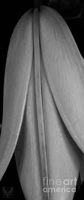 Abstractions From Nature Photograph - V Closed Lily Bw by Dale Crum