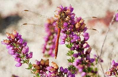 Darter Photograph - Vagrant Darter Dragonfly by Bob Gibbons