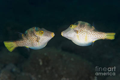 Animals Royalty-Free and Rights-Managed Images - Valentinnis Sharpnose Puffer Face by Steve Jones