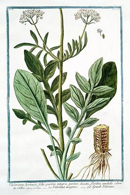 Valeriana Hortensis Art Print by Rare Book Division/new York Public Library