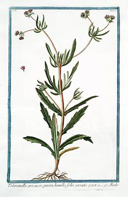 Valerianella Arvensis Art Print by Rare Book Division/new York Public Library