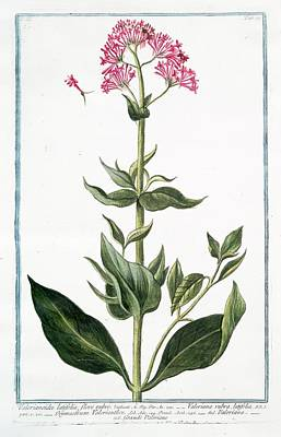 Valerianoides Latifolia Art Print by Rare Book Division/new York Public Library