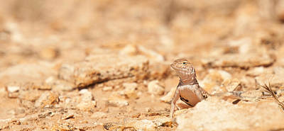 Photograph - Valley Lizard by Darren Bradley