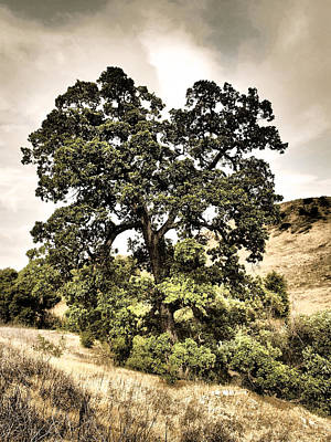 Valley Oak Art Print
