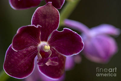 Photograph - Vanda Orchid by Meg Rousher