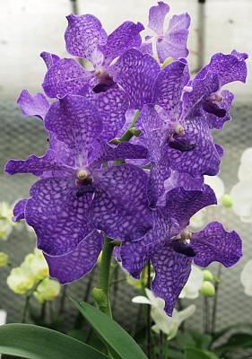 Vanda Orchid (vanda 'blue Magic') Print by Neil Joy