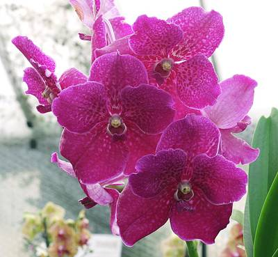 Deep Pink Photograph - Vanda Orchid (vanda 'fuchs Fuchsia') by Neil Joy
