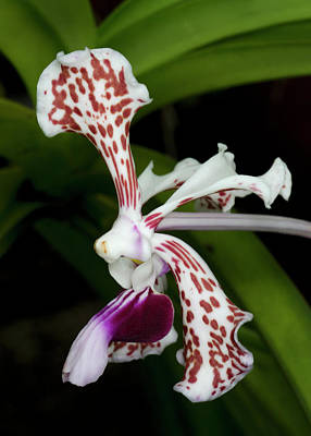 Hothouses Photograph - Vanda Tricolor Orchid by Nigel Downer