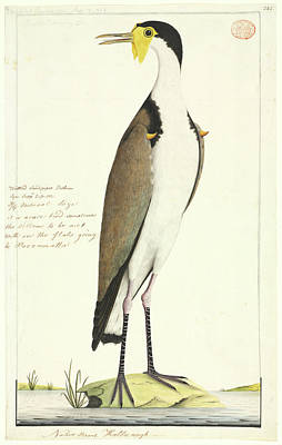 Lapwing Photograph - Vanellus Miles by Natural History Museum, London