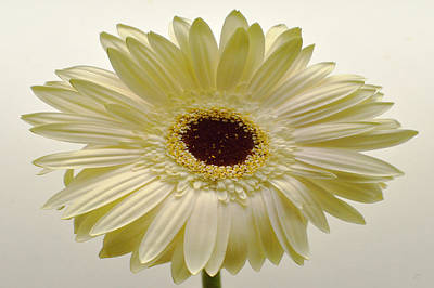 Sunburst Floral Still Life Photograph - Vanilla Bean Zinnia by Sherry Allen