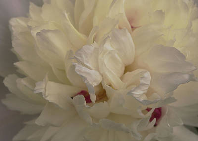 Photograph - Vanilla Layers - Soft Image Of A Peony by Jane Eleanor Nicholas