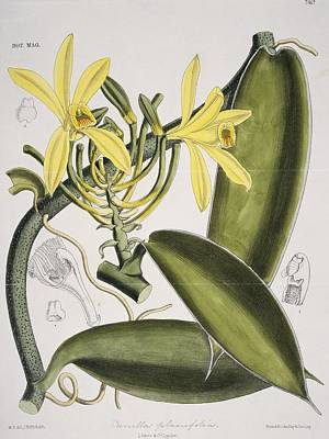 Nugent Photograph - Vanilla Planifolia Orchid, Artwork by Science Photo Library