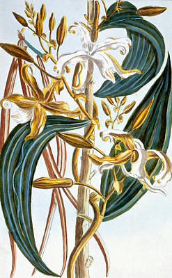 Pods Painting - Vanilla Pods by Pierre-Joseph Buchoz