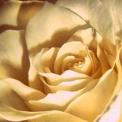 Photograph - Vanilla Rose  by Janine Riley