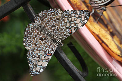 Art Print featuring the photograph Variable Craker Butterfly #2 by Judy Whitton