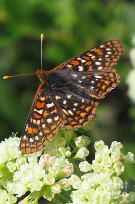 Photograph - Varied Checkerspot by Frank Townsley