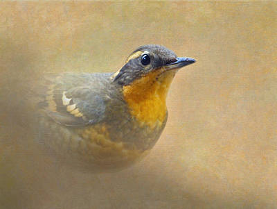 Photograph - Varied Thrush by Angie Vogel