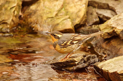Photograph - Varied Thrush By Pond by Sandy Keeton