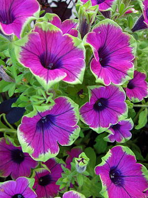 Photograph - Variegated Petunias by Georgia Hamlin