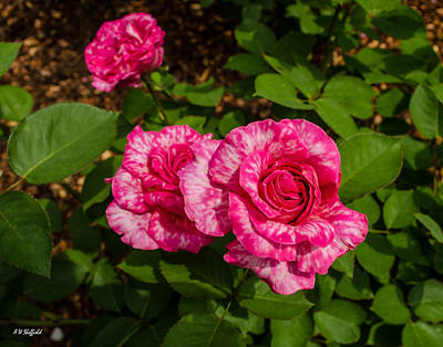 Photograph - Variegated Roses by Allen Sheffield