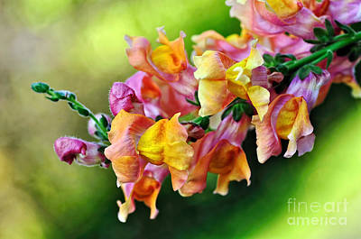 Antirrhinum Photograph - Variegated Snapdragon 2 by Kaye Menner
