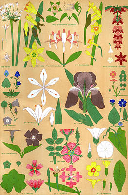 Primroses Drawing - Various Flowers, Including  White Lily by Mary Evans Picture Library