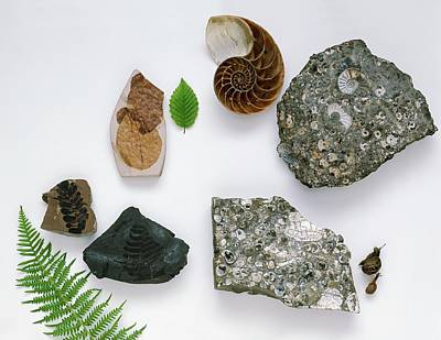 Prehistoric Era Photograph - Various Fossils by Dorling Kindersley/uig