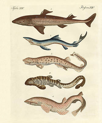 Nurse Shark Drawing - Various Kinds Of Sharks by Splendid Art Prints