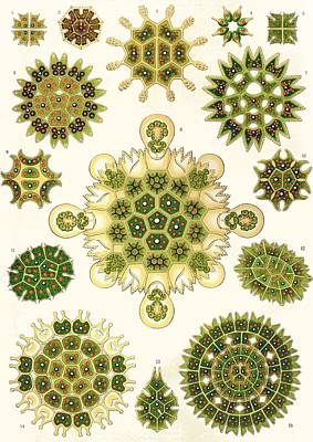 Varities Of Pediastrum From Kunstformen Der Natur Print by Ernst Haeckel