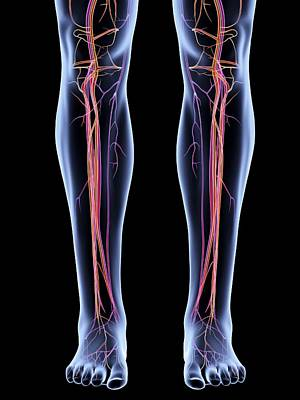 Vascular System Of The Legs Art Print by Alfred Pasieka
